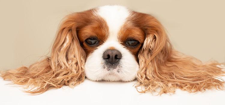 Conséquence inattendue de la stérilisation d'une jeune chienne