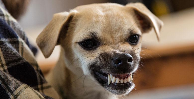 Un chien qui montre les crocs