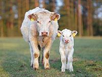 Une vache charolaise et son veau