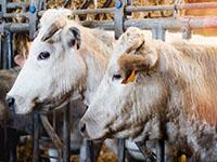 Vaches charolaises à l'étable