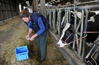 chirurgie bovine, sécurité des soins