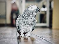 Perroquet gris Gabon