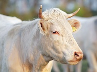 Obstétrique bovine