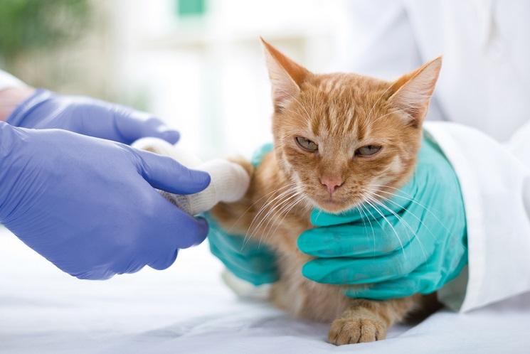 Amputation chez un chaton