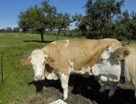 Vache de race Simmental