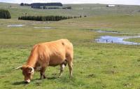 Vache de race aubrac