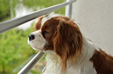 chienne Cavalier King Charles